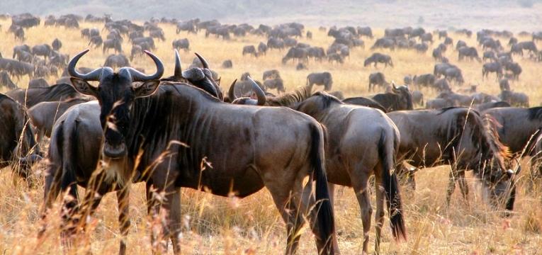 masai-mara-beests