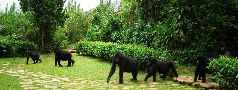 uganda-gorilla-family